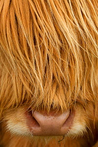 RF- Close-up of Highland cow (Bos taurus) showing thick insulating hair covering face. Isle of Lewis, Outer Hebrides, Scotland, UK, April. (This image may be licensed either as rights managed or royal... - Peter  Cairns / 2020VISION