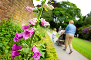 Family walking along path, with Common foxglove (Digitalis purpurea) in foreground, Bramhall Park, Cheshire, England, UK, June. - Ben Hall / 2020VISION