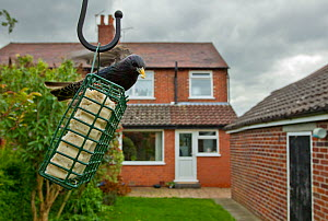 Common starling (Sturnus vulgaris) on bird feeder with house in background, Poynton, Cheshire, England, UK, May. Property released.  -  Ben Hall / 2020VISION
