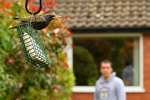 Common starling (Sturnus vulgaris) on bird feeder with man watching in background, Poynton, Cheshire, England, UK, May. Property released.  -  Ben Hall / 2020VISION