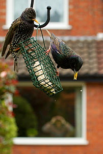 Common starling (Sturnus vulgaris) on bird feeder with man in background watching through house window with binoculars, Poynton, Cheshire, England, UK, May. Property released.  -  Ben Hall / 2020VISION