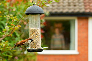 Male House sparrow (Passer domesticus) on feeder with man in background standing by window, Poynton, Cheshire, England, UK, May. Property released. - Ben Hall / 2020VISION