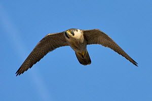 Adult female Peregrine falcon (Falco peregrinus) in flight, Bristol, England, UK, March. Did you know? The highest ever recorded speed of a peregrine falcon in flight was 242 mile per hour!  -  Bertie  Gregory / 2020VISION