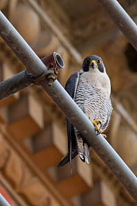 Adult female Peregrine falcon (Falco peregrinus) perched on scaffolding, Bristol, England, UK, June. - Bertie Gregory / 2020VISION