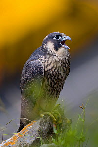 Juvenile Peregrine falcon (Falco peregrinus) vocalising whilst perched in the Avon Gorge, Bristol, England, UK, June.  -  Bertie Gregory / 2020VISION
