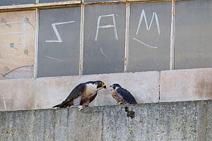 Peregrine falcon (Falco peregrinus) feeding male chick on the window ledge of a derelict building, with graffiti on window behind, Bristol, England, UK, June.  -  Bertie Gregory / 2020VISION