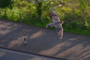 Adult female Peregrine falcon (Falco peregrinus) in flight over a road in the Avon Gorge, Bristol, England, UK, May. - Bertie Gregory / 2020VISION