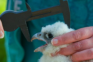 Peregrine falcon (Falco peregrinus) chick, aged three weeks, being measured during a ringing session, Bristol, England, UK, May.  -  Bertie Gregory / 2020VISION