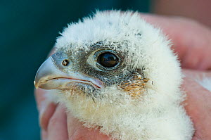 Close up portrait of a Peregrine falcon (Falco peregrinus) chick, aged three weeks, during a ringing session, Bristol, England, UK, May.Did you know? Peregrine falcons are the world's most widespread...  -  Bertie Gregory / 2020VISION