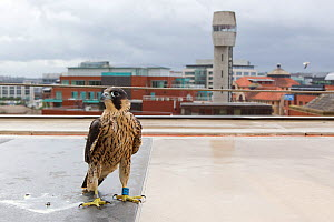Juvenile male Peregrine falcon (Falco peregrinus) on a rooftop, with cityscape background, Bristol, England, UK, June.  -  Bertie  Gregory / 2020VISION