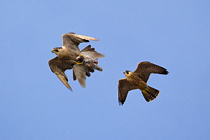 Juvenile male Peregrine falcon (Falco peregrinus) in flight chasing his parent who has Feral pigeon (Columba livia) kill in claws, Bristol, England, UK, June.  -  Bertie  Gregory / 2020VISION