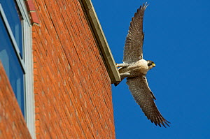 Adult female Peregrine falcon (Falco peregrinus) taking flight from the roof an office block, Bristol, England, UK, May. Did you know? Peregrine falcons have specially adapted nostrils to prevent the...  -  Bertie  Gregory / 2020VISION