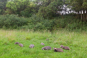 Badger (Meles meles) family feeding in long grass near to their sett, Dorset, England, UK, July.  -  Bertie Gregory / 2020VISION