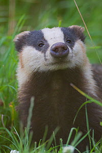 Adult Badger (Meles meles) sniffing the air amongst long grass, Dorset, England, UK, July.  -  Bertie Gregory / 2020VISION