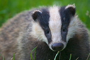 Badger (Meles meles) cub, Dorset, England, UK, July. Did you know? The word Badger derives from the French 'Becheur�, meaning digger.  -  Bertie Gregory / 2020VISION
