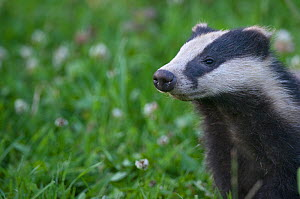 Badger (Meles meles) cub sniffing the air, Dorset, England, UK, July.  -  Bertie Gregory / 2020VISION