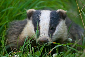 Adult Badger (Meles meles) in long grass,  Dorset, England, UK, July.  -  Bertie Gregory / 2020VISION