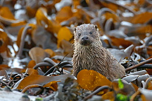 European river otter (Lutra lutra) cub amongst kelp on shoreline, Shetland Isles, Scotland, UK, October.  -  Chris Gomersall / 2020VISION