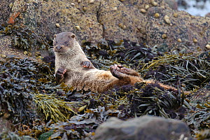 European river otter (Lutra lutra) cub lying on back and drying itself on seaweed, Shetland Isles, Scotland, UK, October.  -  Chris Gomersall / 2020VISION