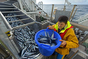 Atlantic mackerel (Scomber scombrus) in fish separator on board Shetland pelagic trawler 'Charisma', with crew member David Anderson taking a sample for measurement. Shetland Isles, Scotland, UK, Octo...  -  Chris Gomersall / 2020VISION