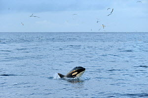 Killer whale (Orcinus orca) following Shetland pelagic trawler 'Charisma', near Shetland Isles, Scotland, UK, October 2012.  -  Chris Gomersall / 2020VISION