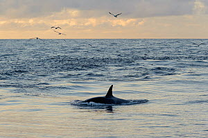Killer whale (Orcinus orca) following Shetland pelagic trawler 'Charisma' close to Eshaness. October 2012.  -  Chris Gomersall / 2020VISION