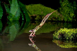 Common frog (Rana temporaria) diving into a pond, controlled conditions, UK.  -  Dale Sutton / 2020VISION