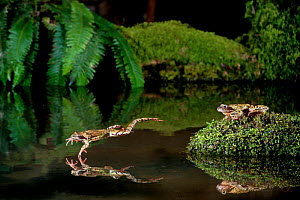 Common frog (Rana temporaria) leaping into a pond, with another on a rock, controlled conditions, UK.  -  Dale Sutton / 2020VISION