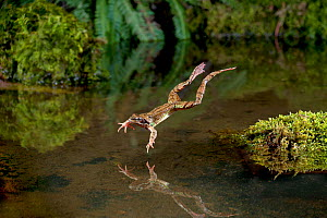 Common frog (Rana temporaria) leaping into a pond, controlled conditions, UK.  -  Dale Sutton / 2020VISION