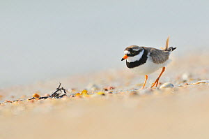 Male Ringed plover (Charadrius hiaticula) on beach, Outer Hebrides, Scotland, UK, June. Did you know? When Plovers sense danger a parent bird will pretend to have a broken wing to distract predators.  -  Fergus Gill / 2020VISION