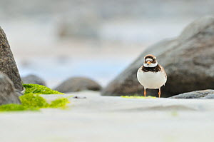 Male Ringed plover (Charadrius hiaticula) on beach, Outer Hebrides, Scotland, UK, June.  -  Fergus Gill / 2020VISION