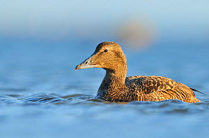 Female Eider (Somateria mollissima) swimming on sea, Outer Hebrides, Scotland, UK, June.  -  Fergus Gill / 2020VISION