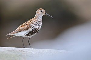 Dunlin (Calidris alpina) perching on a rock, Outer Hebrides, Scotland, UK, June. - Fergus Gill / 2020VISION