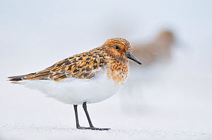 Sanderling (Calidris alba) in breeding plumage, standing on shoreline, Outer Hebrides, Scotland, UK, June. - Fergus Gill / 2020VISION