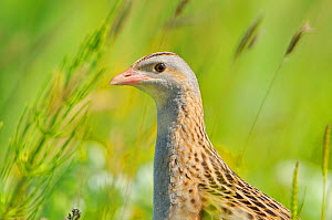 Male Corncrake (Crex crex) South Uist, Outer Hebrides, Scotland, UK, June. - Fergus  Gill / 2020VISION