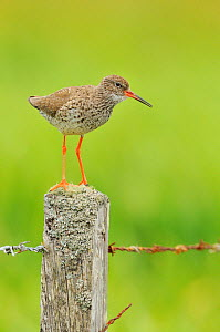 Redshank (Tringa totanus) perched on a fencepost, vocalising, Balranald RSPB reserve, North Uist, Outer Hebrides, Scotland, UK, June 2012. - Fergus Gill / 2020VISION