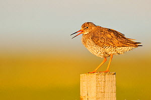 Redshank (Tringa totanus) perched on a fence post, vocalising, Balranald RSPB reserve, North Uist, Outer Hebrides, Scotland, UK, June 2012.  -  Fergus Gill / 2020VISION