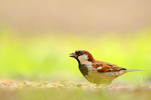 Male House sparrow (Passer domesticus) feeding on the ground, Perthshire, Scotland, UK, July.  -  Fergus Gill / 2020VISION