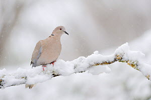 Collared dove (Streptopelia decaocto) perched on a snow covered branch, Perthshire, Scotland, UK, April. - Fergus Gill / 2020VISION