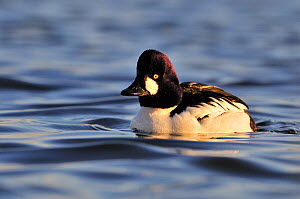 Male Goldeneye (Bucephala clangula), Hogganfield Loch, Glasgow, Scotland, UK, February. - Fergus Gill / 2020VISION
