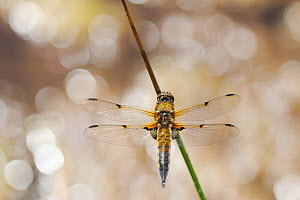Four-spotted chaser / Four-spooed libellula (Libellula quadrimaculata), Moine Mhor National Nature Reserve, Argyll, Scotland, UK, May. - Fergus Gill / 2020VISION