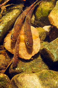 Brown trout (Salmo trutta) fry on river bed, Cumbria, England, UK, September.  -  Linda Pitkin / 2020VISION