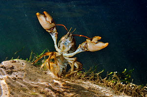 White clawed crayfish (Austropotamobius pallipes) underwater on riverbed, showing defensive posture, River Leith, Cumbria, England, UK, September 2012.  Did you know? White clawed crayfish can live fo...  -  Linda Pitkin / 2020VISION