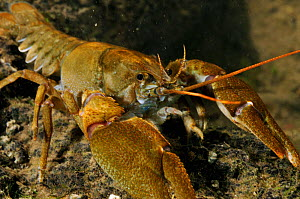 White clawed crayfish (Austropotamobius pallipes) on river bed, viewed underwater, River Leith, Cumbria, England, UK, September 2012. - Linda Pitkin / 2020VISION