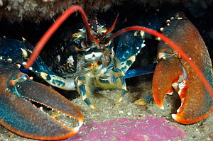 Common Lobster (Homarus gammarus), in a rock crevice, Lundy Island Marine Conservation Zone, Devon, England, UK, May.  -  Linda Pitkin / 2020VISION