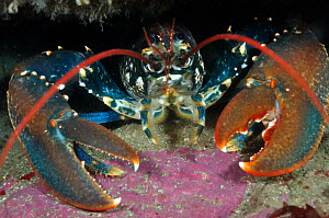 Common Lobster (Homarus gammarus), in a rock crevice, Lundy Island Marine Conservation Zone, Devon, England, UK, May. Did you know? Lobster pincers are different sizes for different uses, one is for c... - Linda Pitkin / 2020VISION
