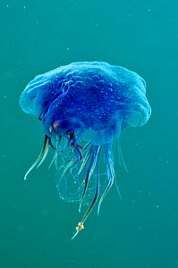 Blue jellyfish (Cyanea lamarckii), feeding on small plankton, Lundy Island Marine Conservation Zone, Devon, England, UK, May.  -  Linda  Pitkin / 2020VISION