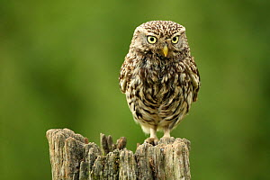Little owl (Athene noctua) perched on a post, Essex, England, UK, June. Did you know? The Latin name of the Little owl, Athene noctua, comes from the Greek goddess of wisdom Athena, whose symbol was a... - Luke Massey / 2020VISION