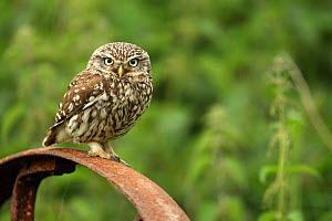 Little owl (Athene noctua) perched on a rusting iron wheel, Essex, England, UK, June. - Luke Massey / 2020VISION