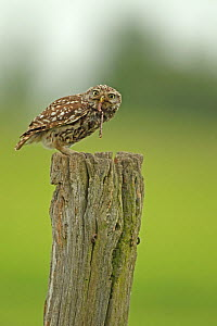 Little owl (Athene noctua) perched on a post and eating Earthworm (Lumbricus) prey, Essex, England, UK, June.  -  Luke Massey / 2020VISION